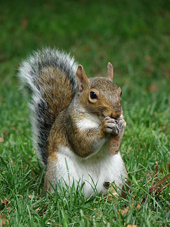 English: Gray squirrel (Sciurus carolinensis) ...