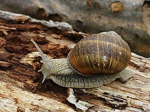 Roman snail near Dourbes, Belgium. Diameter: ~...