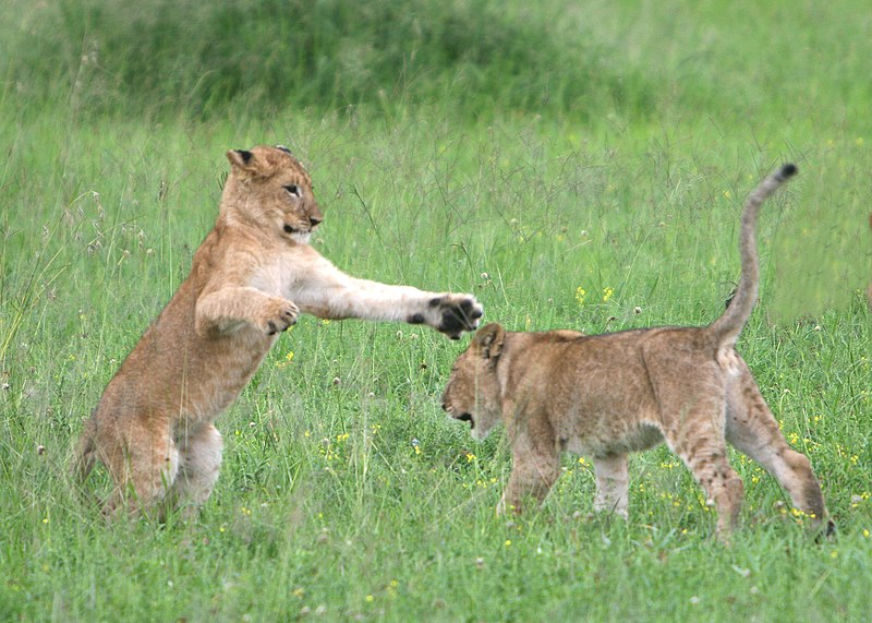 File:Lion cubs Serengeti.jpg