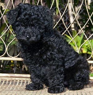 Picture of a seven week old miniature poodle pup