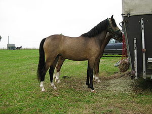 A section B Welsh Pony
