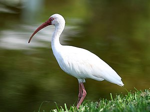 English: American White Ibis in Florida, USA.