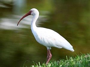 English: American White Ibis in Florida, USA.