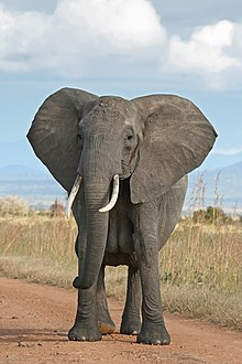 Gajah Afrika.