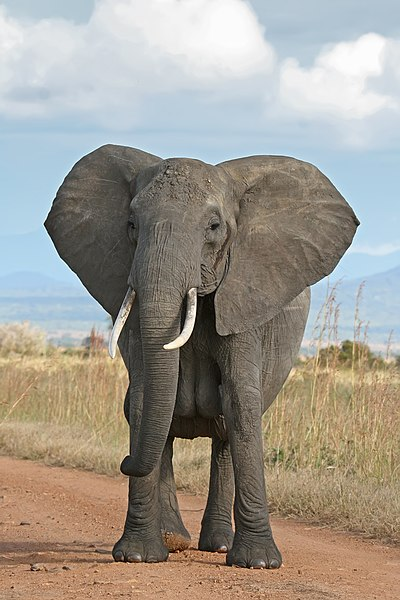 File:African Bush Elephant.jpg