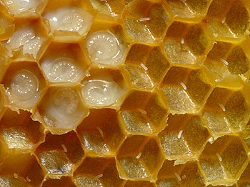 Honeycomb of Western honey bees (Apis mellifer...