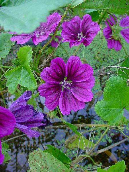 malva sylvestris plante mellifere