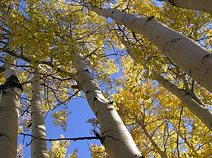Quaking Aspens Populus tremuloides, Little Cot...