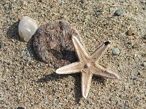 English: Starfish on the beach at Carradale Bay.
