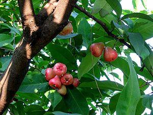 SyzygiumSamarangense