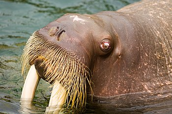 English: Walrus at Kamogawa Seaworld, Japan