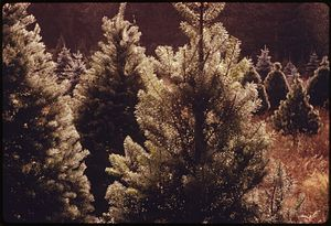 CLOSEUP OF A GROUP OF CHRISTMAS TREES ON A CHR...