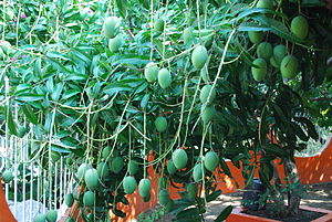 English: Green mangos growing on a tree near T...