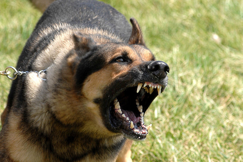 File:Military dog barking.JPG