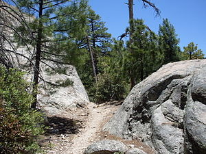 Pinus arizonica, Mount Lemmon, Arizona.