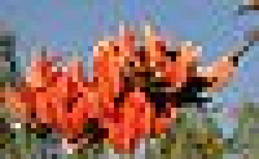 STS 001 Butea monosperma.jpg