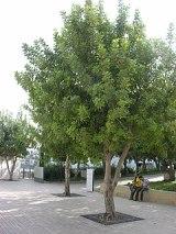 Sendlerowa-drzewko.JPG