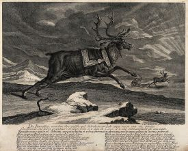 A harnessed reindeer rearing its front legs in a mountainous Wellcome V0021018.jpg