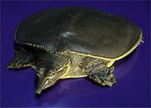 Volunteers Needed for Turtle Beach Clean Up Day Spiny Softshell Turtle