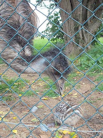 English: Baby emu feeling a little hen-pecked!...