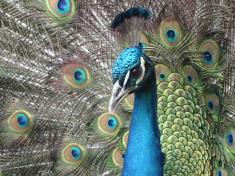 File:Head Peacock.jpg