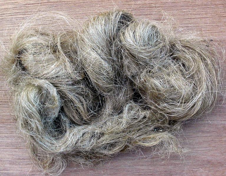 File:Hennepvezel Cannabis sativa fibre.jpg