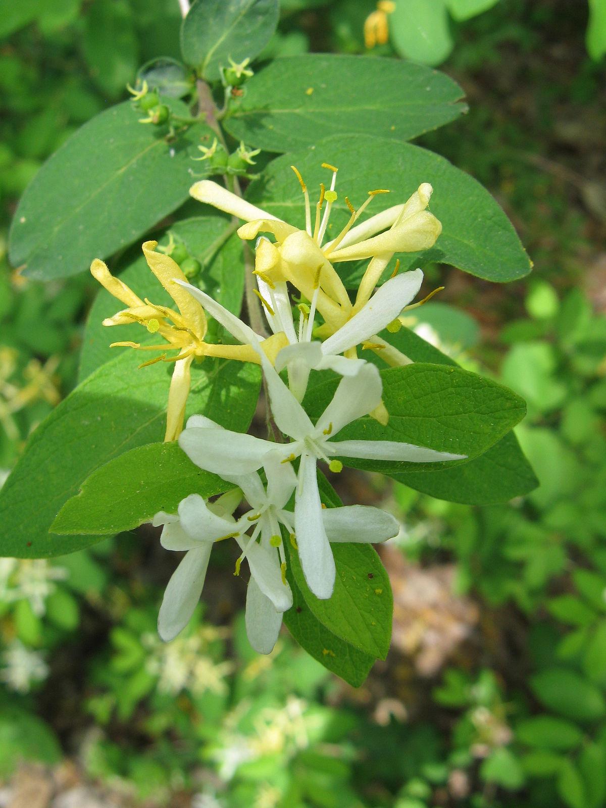 Lonicera Morrowii Wikispecies