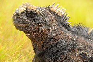 English: Marine Iguana , Galapagos Islands