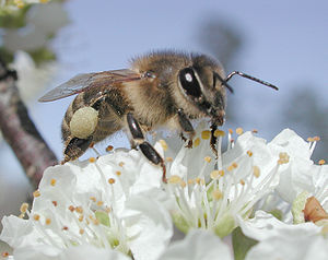 Bee on plum tree with pollen