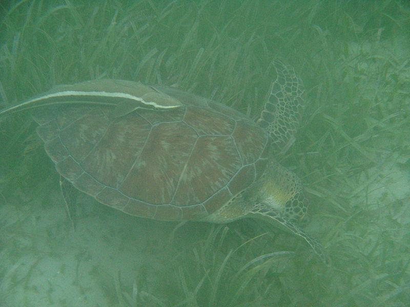 File:Sea turtle and remora.JPG
