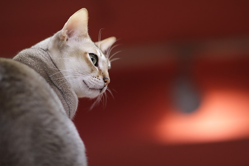 File:Singapura cat looking around.jpg