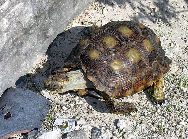 Texas Tortoise (Gopherus berlandieri) by Clinton & Charles Robertson