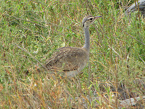 English: White-bellied Bustard (Eupodotis sene...