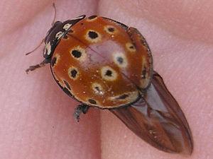 Eyed ladybird| (Anatis ocellata). Quite damage...