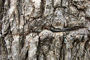 English: Tree bark with embedded in .