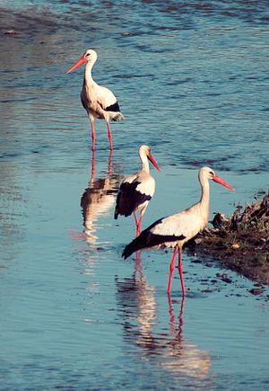 White Storks wading in Guadiana River, Badajoz...