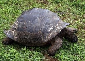 English: Galapagos giant tortoise