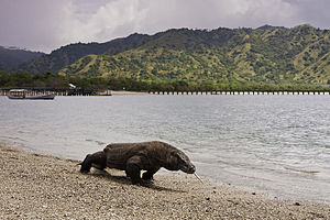 English: Komodo dragon at Komodo National Park...