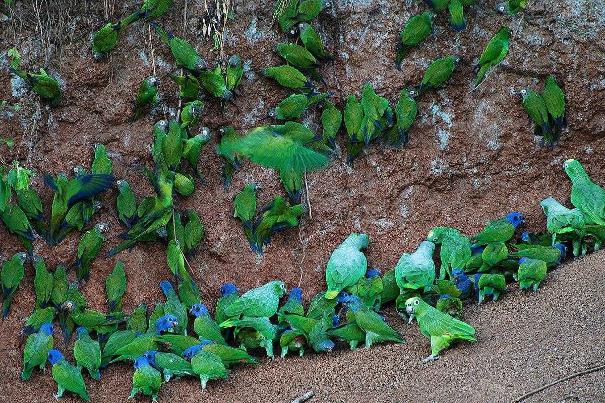 Perroquets prélevant de l'argile.