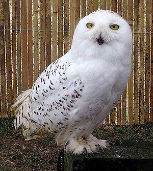 The snowy owl( Bubo scandiacus) is common acro...