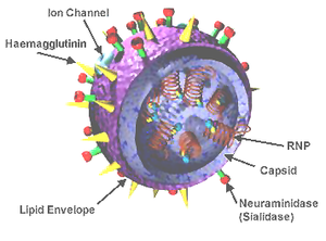 3D model of an influenza virus.