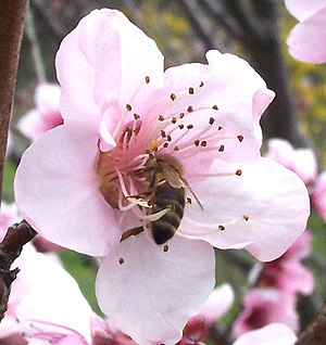 A honey bee collecting nectar from an apple fl...