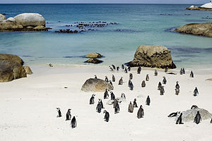 English: The African penguin colony at Boulder...