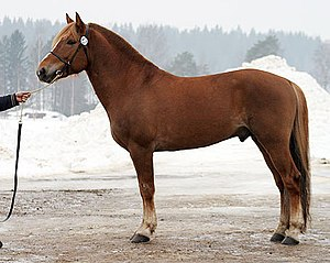Finnhorse stallion Turon Myrsky at the age of ...
