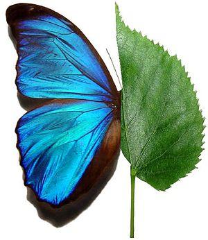 Polski: Liścio-motyl