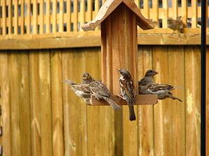 English: House Sparrows at a bird feeder