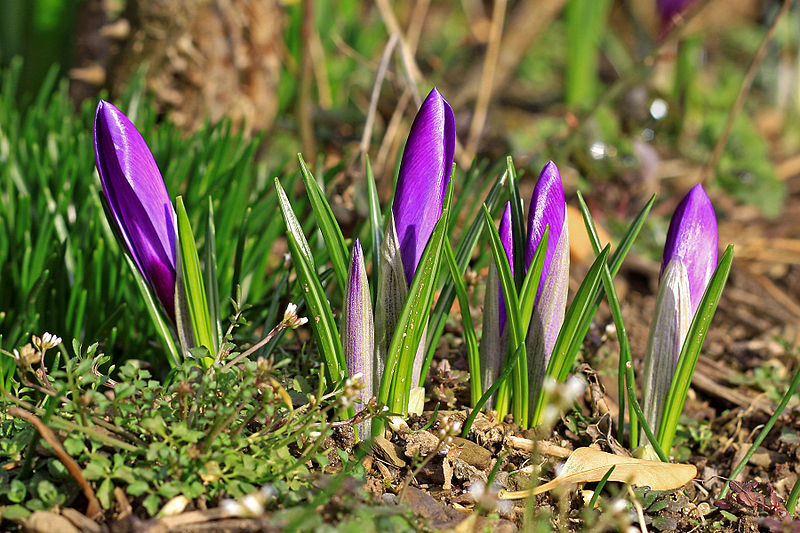 File:Krokusse violett 3.jpg