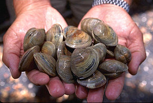 Littleneck clams, small hard clams, species Me...