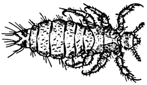 Line-art drawing of a louse.