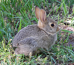 Rabbit in montana.jpg
